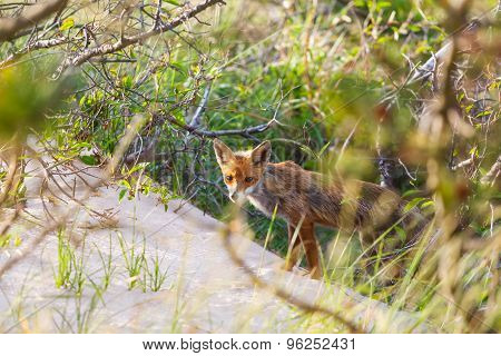 Fox at Undergrowth