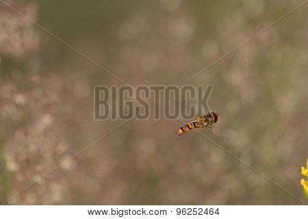 Hoverfly( Episyrphus Balteatus) Flying On Yellow Flower
