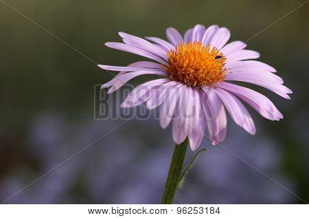 Close-up Of Bloom Pink Osteospermum Daisy Or Cape Daisy