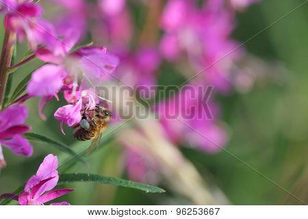 Honeybee  On Pink Summer Flower In The Morning