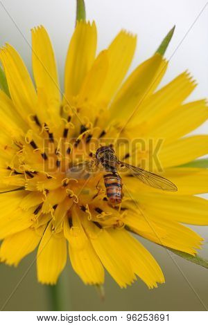 Hoverfly( Episyrphus Balteatus) On Yellow Flower (crepis Vesicaria)