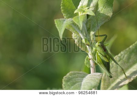 Green Grasshopper (tettigonia Viridissima) Sits On A Leaf