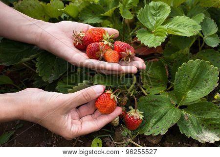 Hand Gathering Strawberries, Closeup