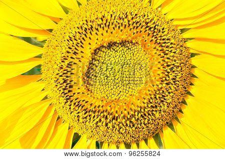 Sunny Yellow Sunflower, Close Up
