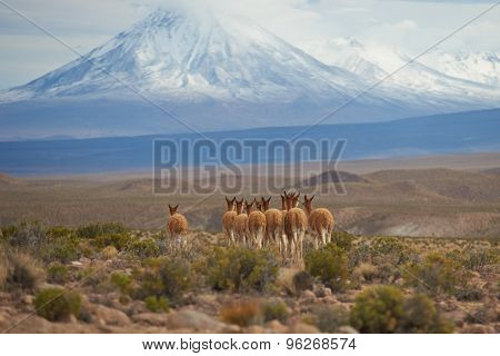 Vicuna on the Altiplano