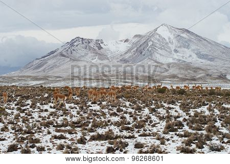 Herd of Vicuna