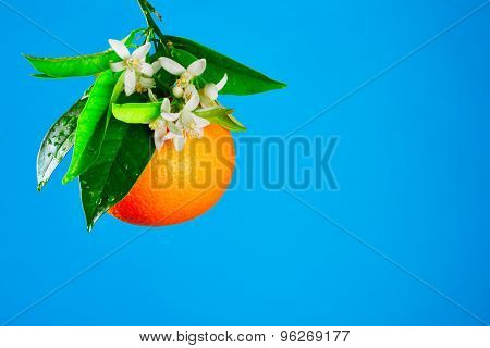 Oranges with orange blossom flowers in spring on blue background