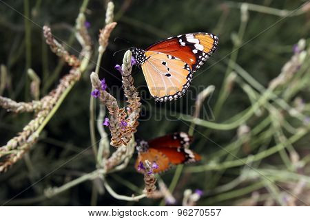 Monarch Butterfly On A Flower Of Lavender