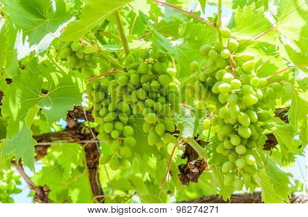 Young grape