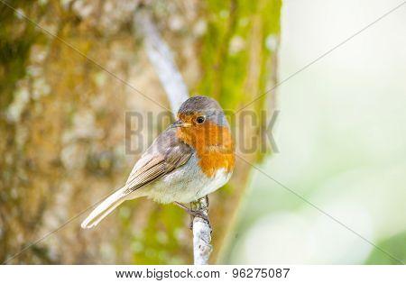cute little robin bird looking around