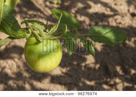 Unripe green tomato on bushes. Ripening vegetables in a home garden.