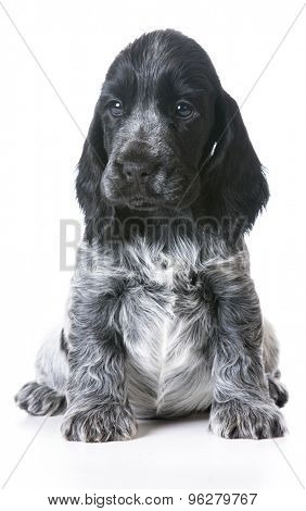 cute puppy - english cocker spaniel sitting on white background - 7 week old female