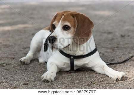 Beagle dog lying on the ground
