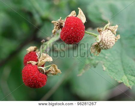 Thimbleberries - Rubus parviflorus