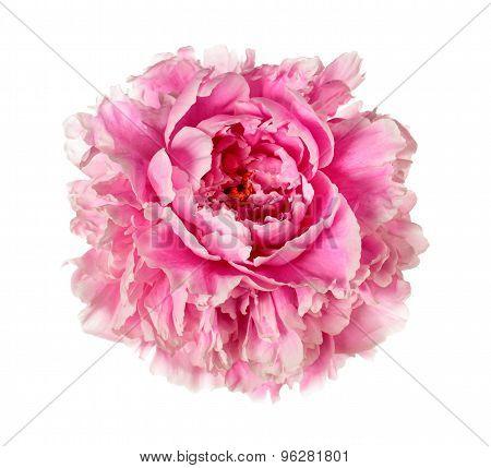 Pink Peony Head