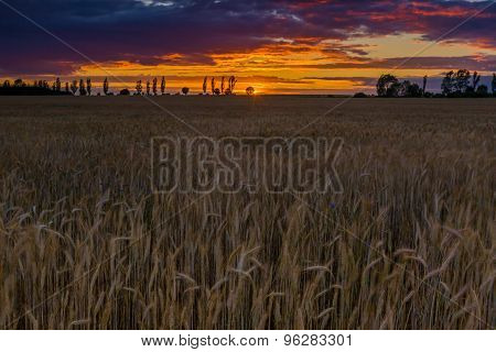 Sunset Over Cereal Field With Grown Up Ears