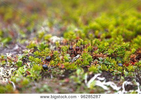Black crowberry, Empetrum nigrum in tundra