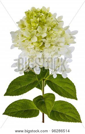 Flowers Of Hydrangea  Isolated On A White Background
