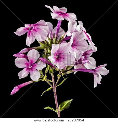 Flowers Of Phlox, Isolated On A Black Background