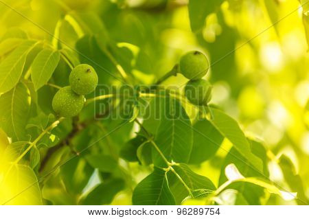 Walnuts On A Tree