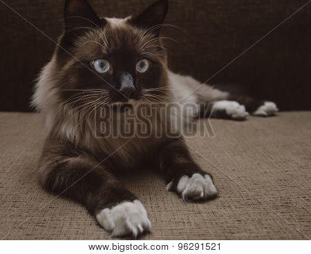 Fluffy Siamese Cat