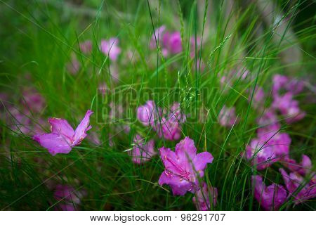 Roan Mountain Spring Rhododenron Blooms 5