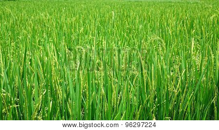 Lush And Green Rice Field