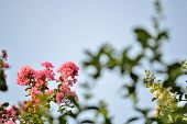 stock photo of crepe myrtle  - Pink crepe myrtle blooms in morning light - JPG