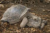 stock photo of tortoise  - Aldabra Giant Tortoise  - JPG