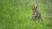foto of hare  - Wild Rabbit or Hare Eating Grass - JPG
