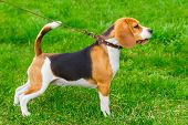 pic of spotted dog  - dog Beagle breed standing in rack on a tight leash on green grass - JPG