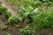 stock photo of strawberry plant  - General view of the agriculture of the vegetable garden planted on it vegetable and berry crops - JPG