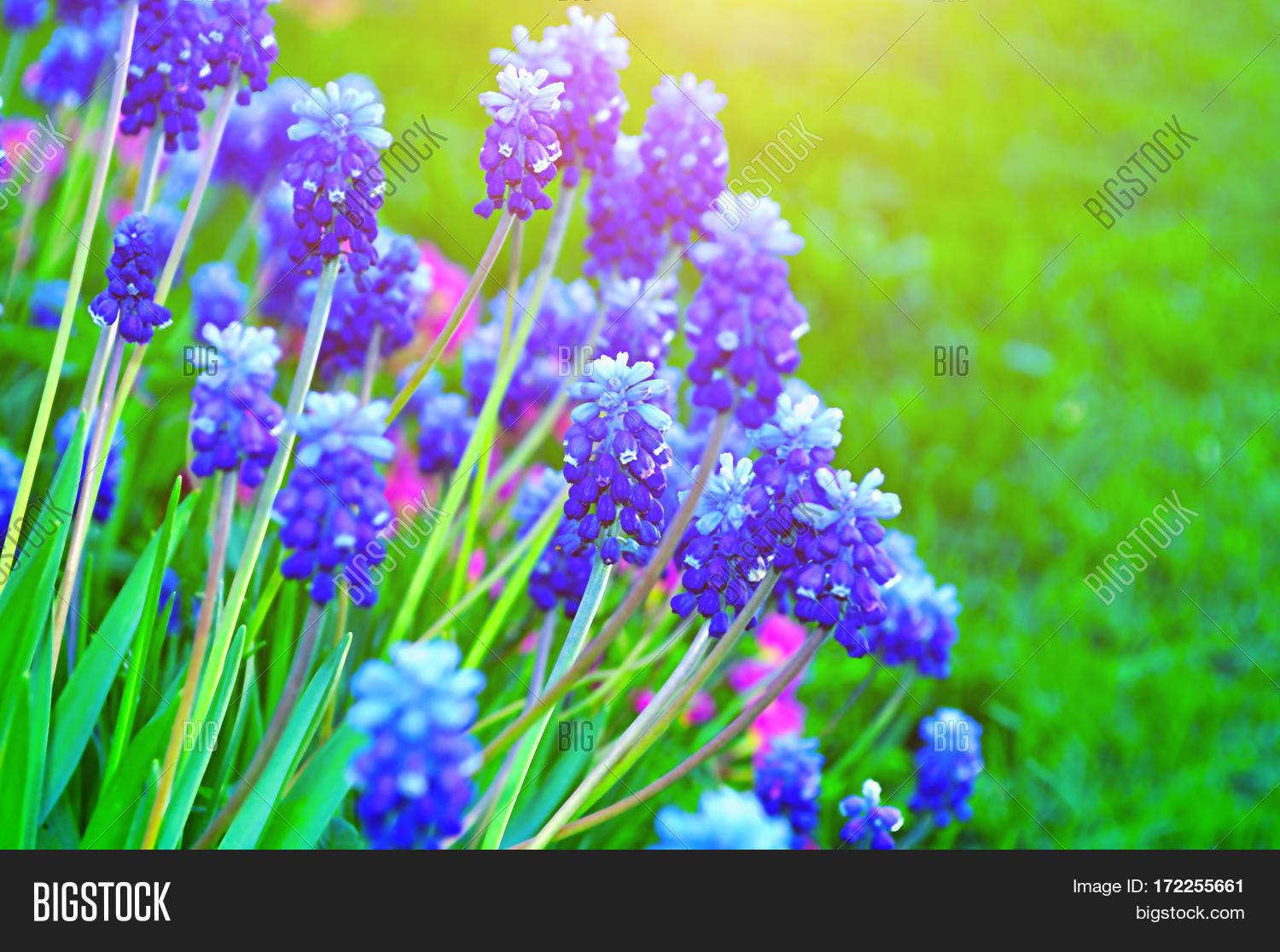 spring flowers muscari floral image u0026 photo bigstock