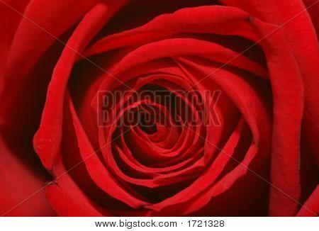 Macro-Rose
