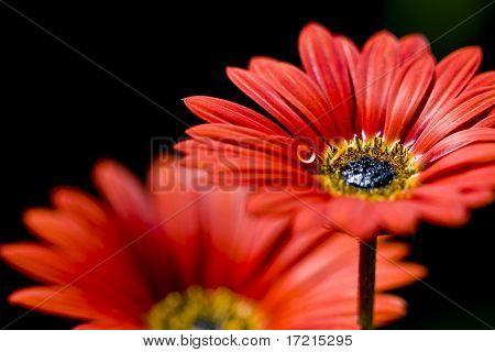 Gerbera Daisy with Water Drop Brilliant Orange