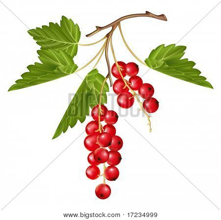 Vector red currant. Ripe berry