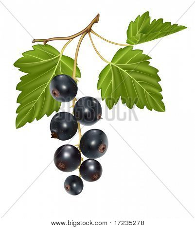Vector illustration. Black currant cluster with green leaves.