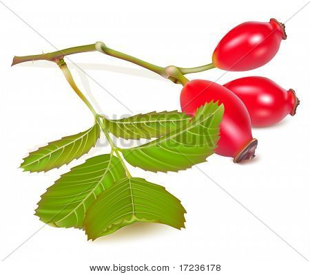 Vector illustration.  Red dog rose hips. Briar.