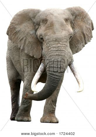 Elephant With Big Tusks Isolated