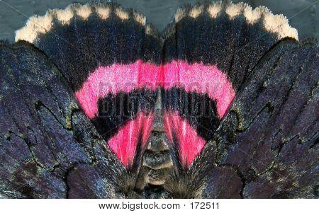Sweet Heart Moth
