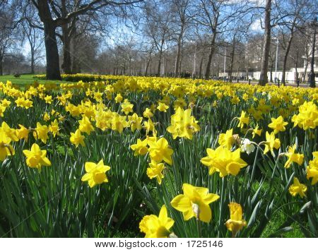 Daffodils In London Hyde Park