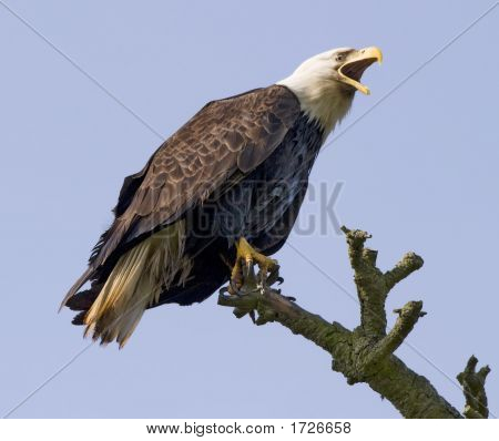 Screaming Eagle en la naturaleza