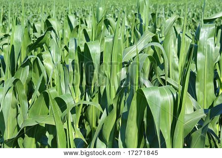 Green Maize Field