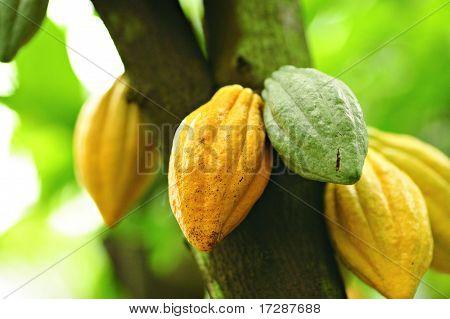 Cocoa Pods