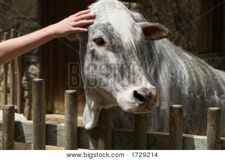 Zebu Being Petted