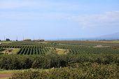 coffee plantation. coffee farm. coffee plants being grown on Maui Hawaii.  poster