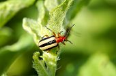 image of solanum tuberosum  - A Three Lined Potato Beetle  - JPG