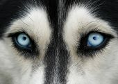 picture of husky  - close - JPG