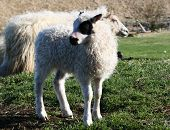stock photo of the lost sheep  - A lamb looking around for it - JPG