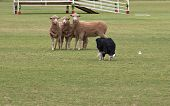 picture of sheep-dog  - a working sheep dog  - JPG